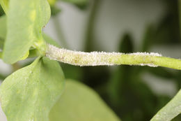 Image of <i>Podosphaera euphorbiae</i> (Castagne) U. Braun & S. Takam. 2000
