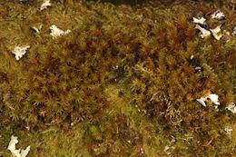 Image of Lyell's orthotrichum moss