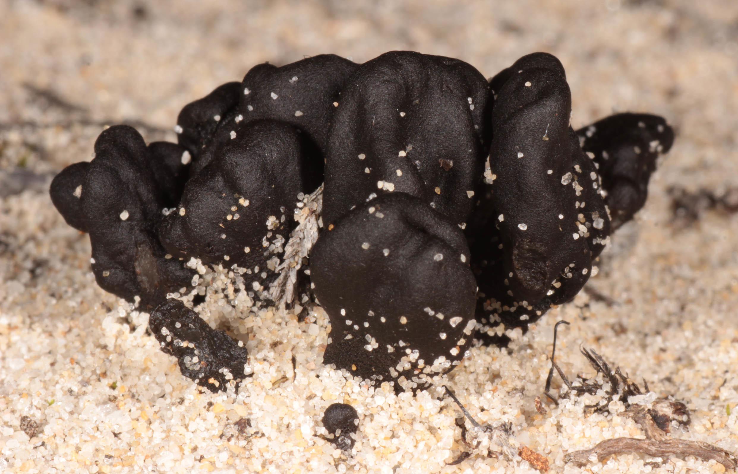 Image of <i>Sabuloglossum arenarium</i> (Rostr.) Hustad, A. N. Mill., Dentinger & P. F. Cannon 2013