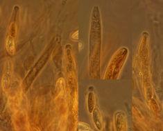 Image of <i>Neonectria coccinea</i> (Pers.) Rossman & Samuels 1999