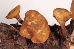 Image of Brown Oak Disc Cup