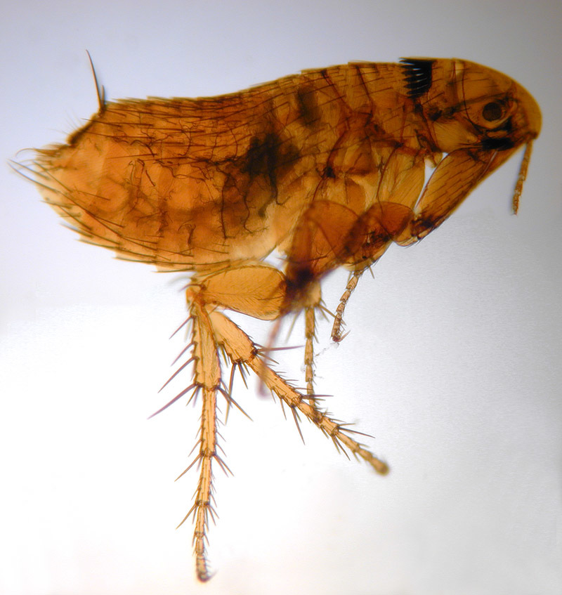 Image of rodent flea