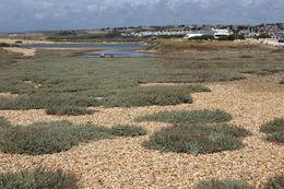 Image of sea purseland