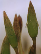 Image of tetraphis moss