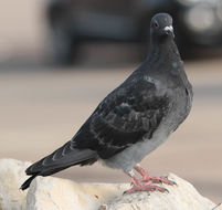 Image of Carrier Pigeon