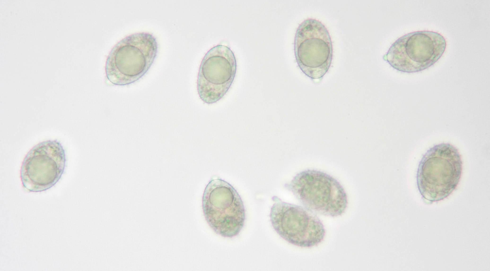 Image of <i>Aleurodiscus wakefieldiae</i> Boidin & Beller 1967
