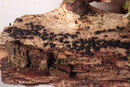 Image of <i>Hysterium angustatum</i> Alb. & Schwein. 1805