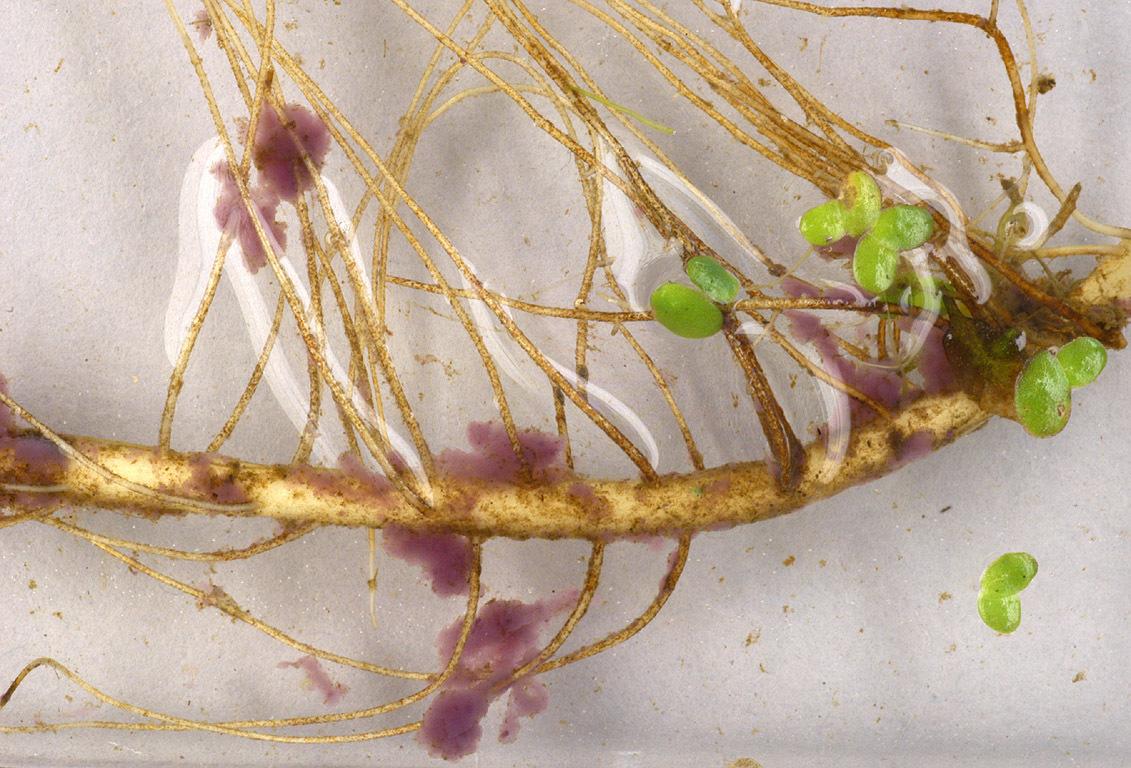 Image of <i>Lamprocystis roseo-persicina</i>