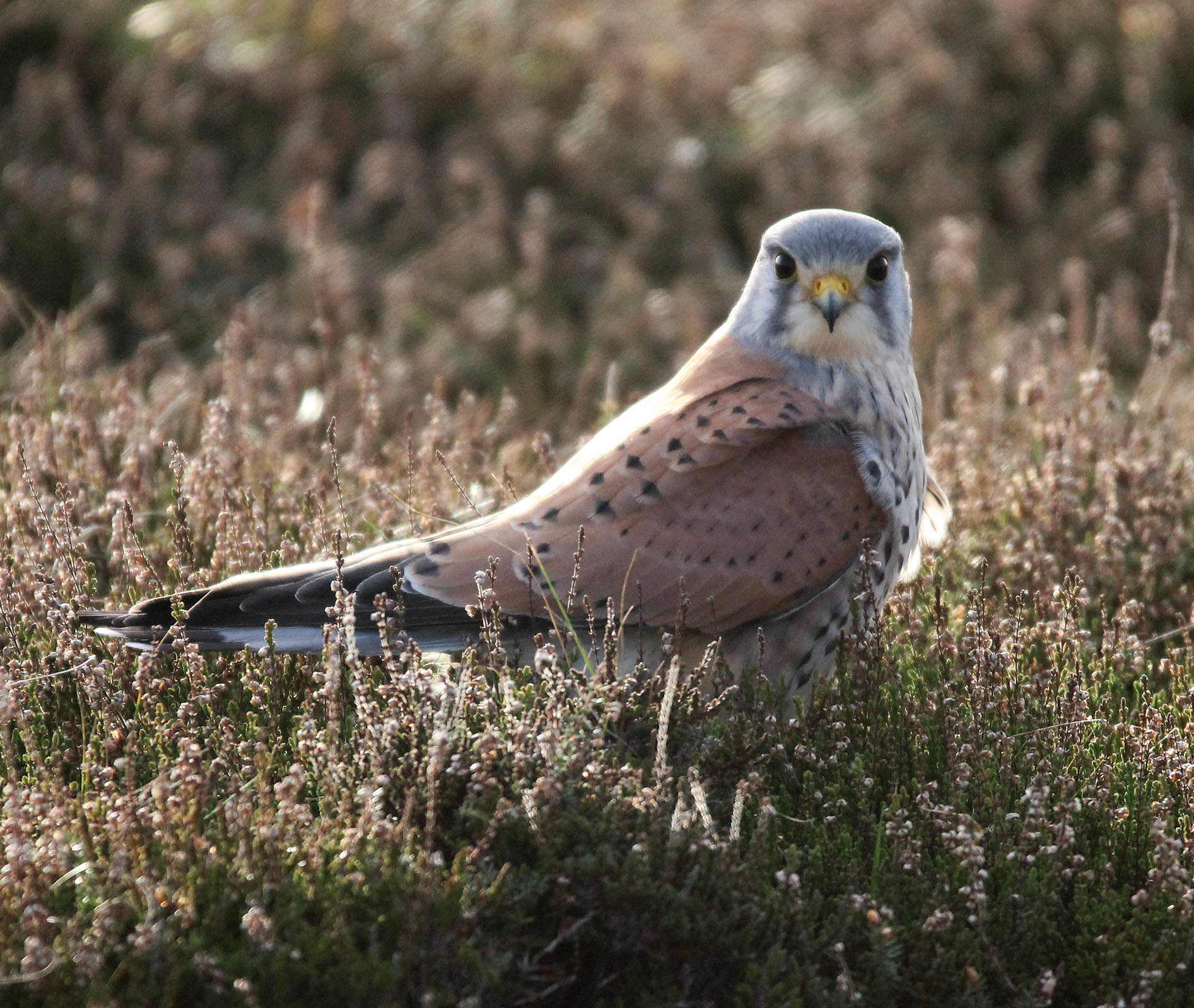Image of Common kestrel