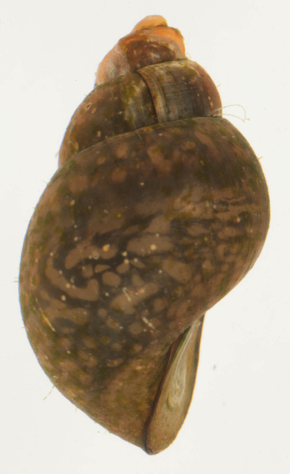 Image of Common Bithynia