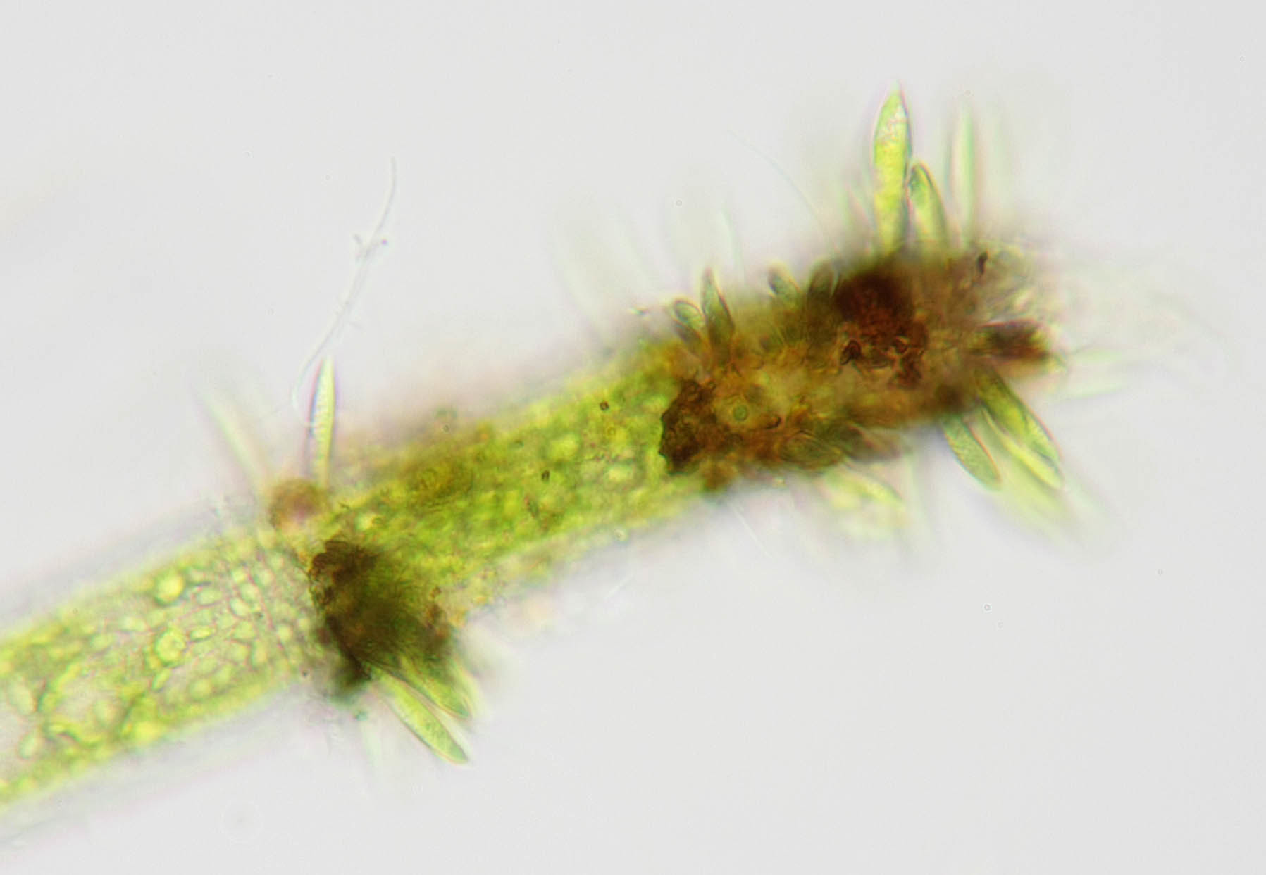 Image of <i>Characium angustum</i> A. Braun 1855