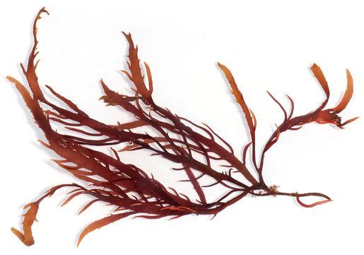 Image of <i>Calliblepharis jubata</i>