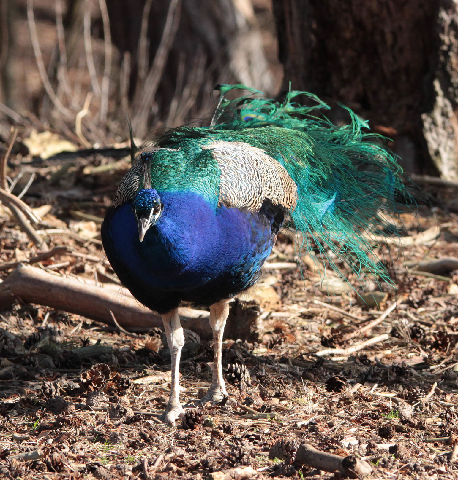 Image of Indian blue peafowl