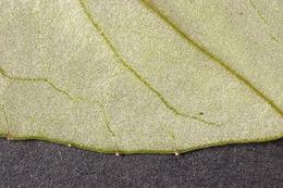 Image of <i>Cyclamen <i>repandum</i></i> ssp. repandum