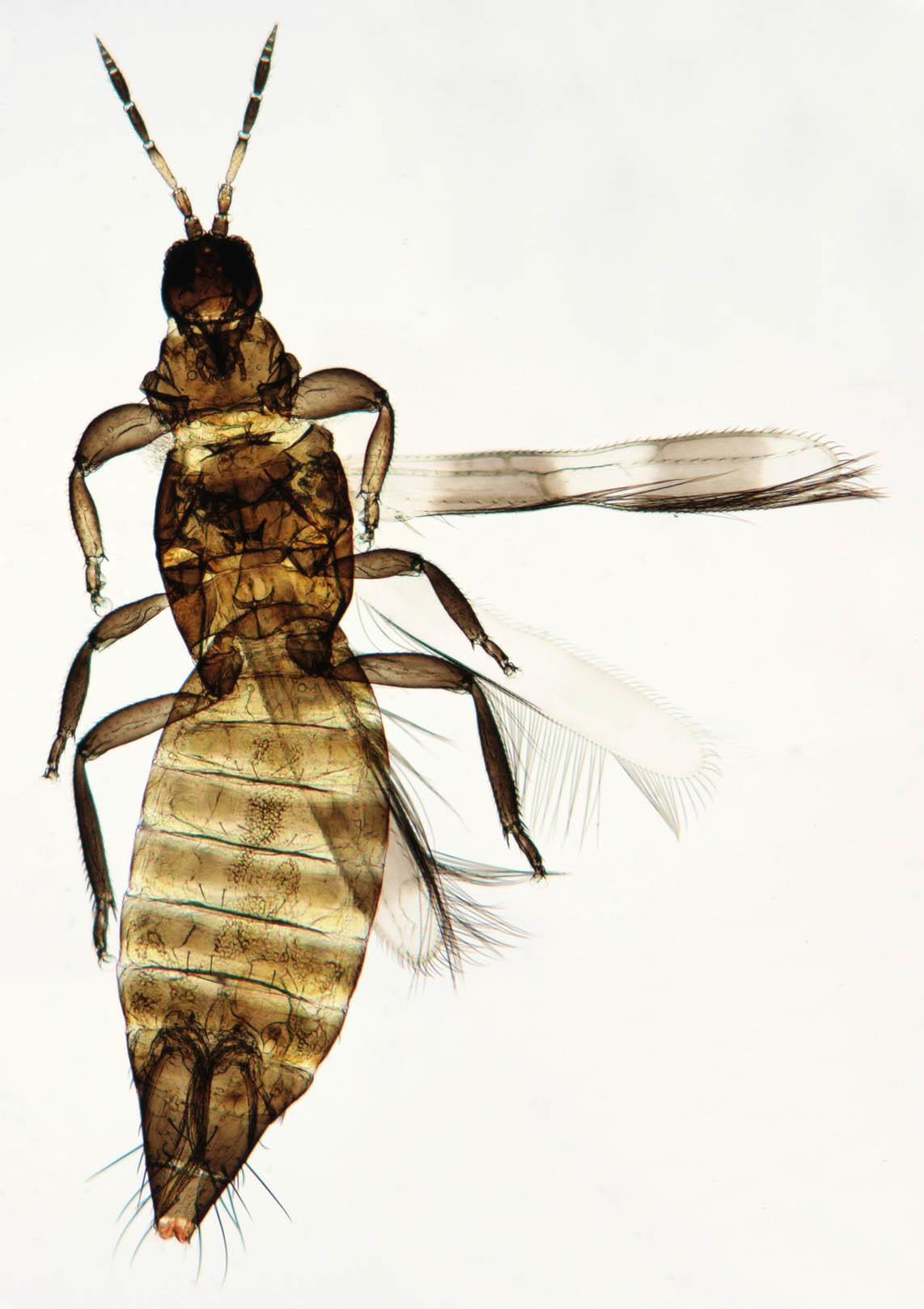 Image of <i>Aeolothrips intermedius</i> Bagnall 1934