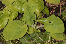 Image of great false leopardbane