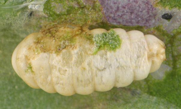Image of Chromatomyia