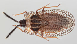 Image of <i>Kalama tricornis</i>