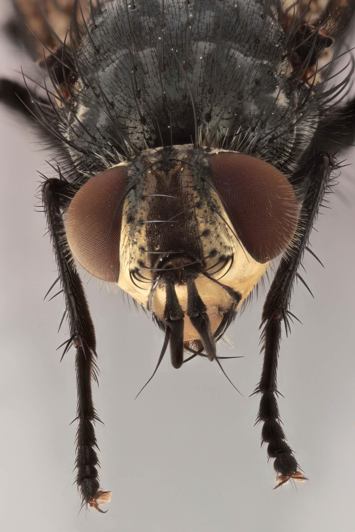 Image of <i>Panzeria rudis</i> (Fallen 1810)