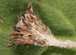 Image of <i>Thecaphora trailii</i>