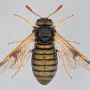Image of Abiinae