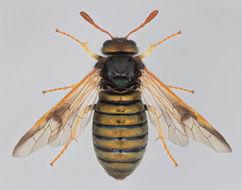 Image of <i>Abia sericea</i>