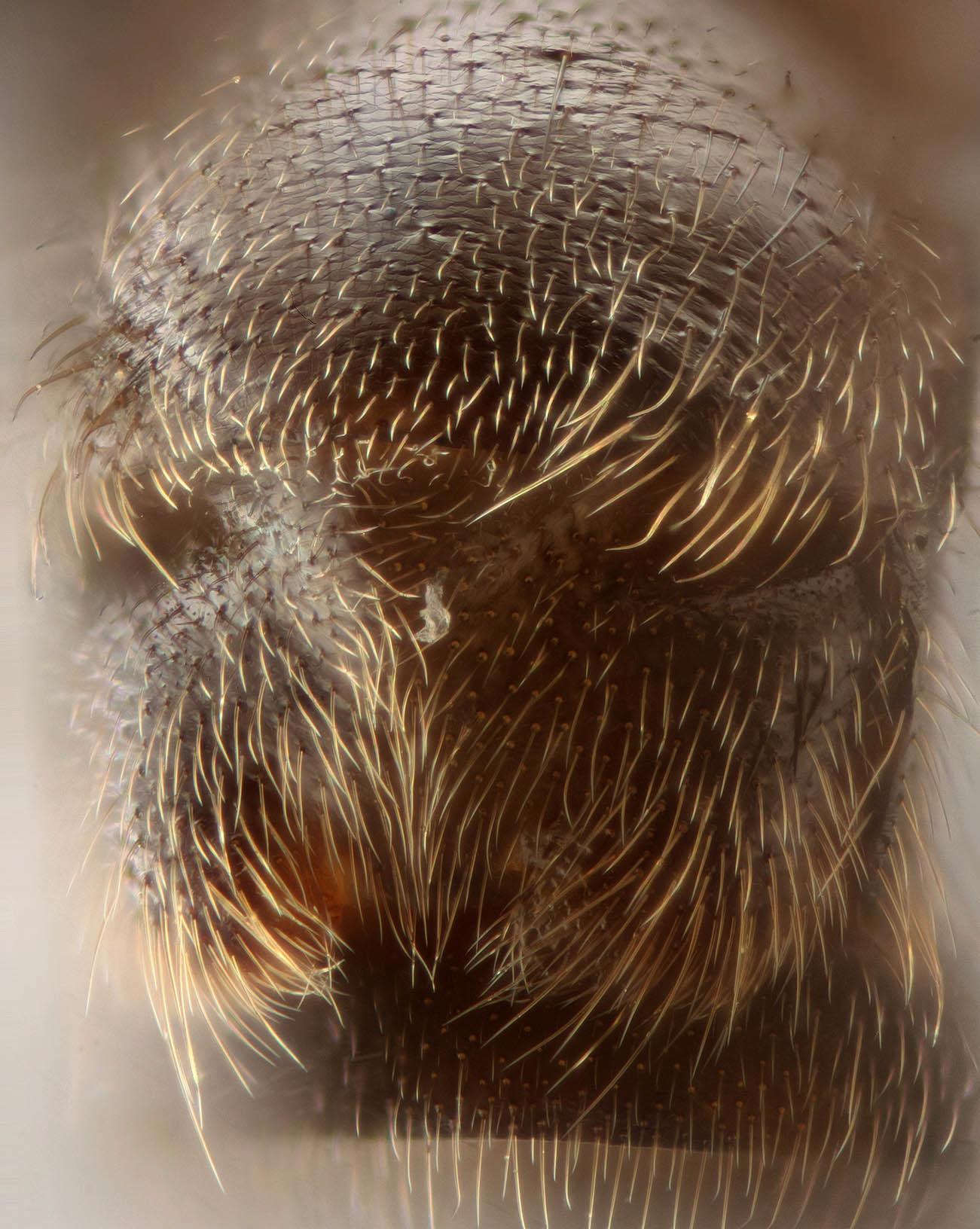 Image of <i>Leuctra fusca</i> (Linnaeus 1758)