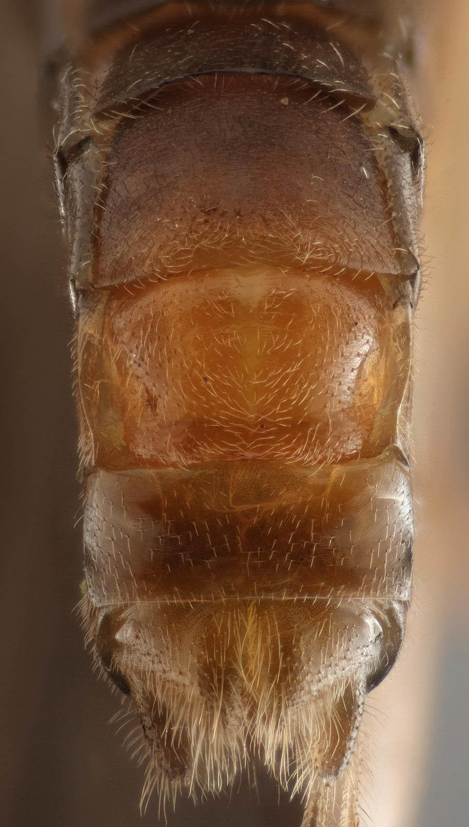 Image of <i>Leuctra geniculata</i> Stephens 1836