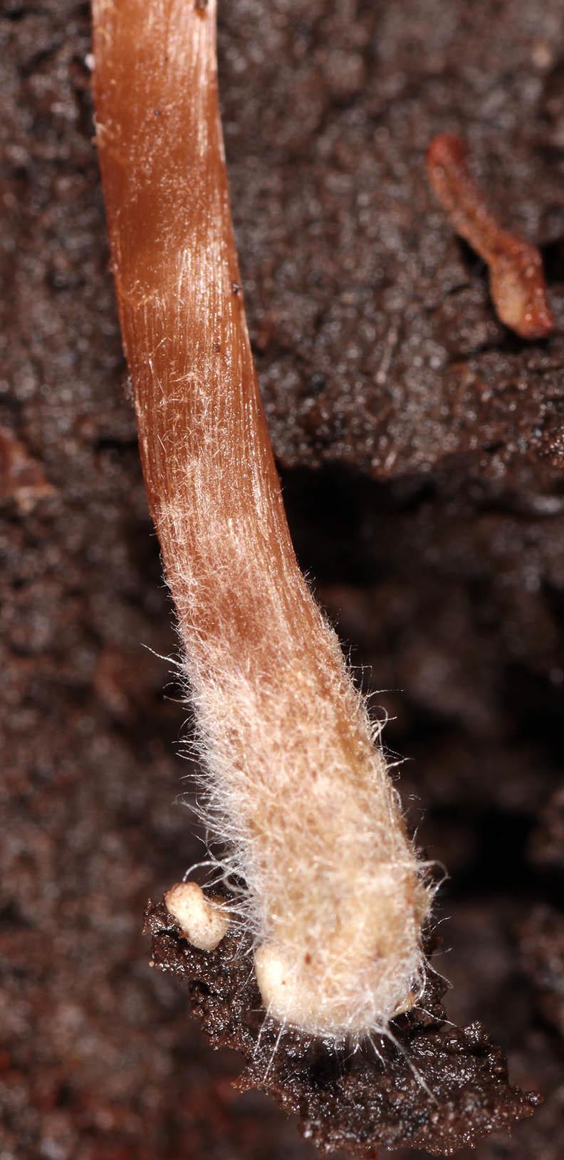 Image of <i>Naucoria subconspersa</i> Kühner ex P. D. Orton 1960