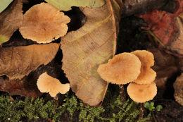 Image of <i>Naucoria escharioides</i> (Fr.) P. Kumm. 1871