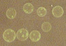 Image of <i>Volvox aureus</i>
