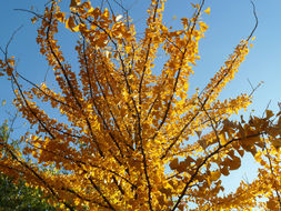 Image of Ginkgo