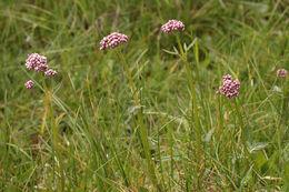 Image of marsh valerian