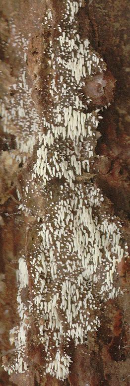 Image of <i>Mucronella calva</i> (Alb. & Schwein.) Fr. 1874