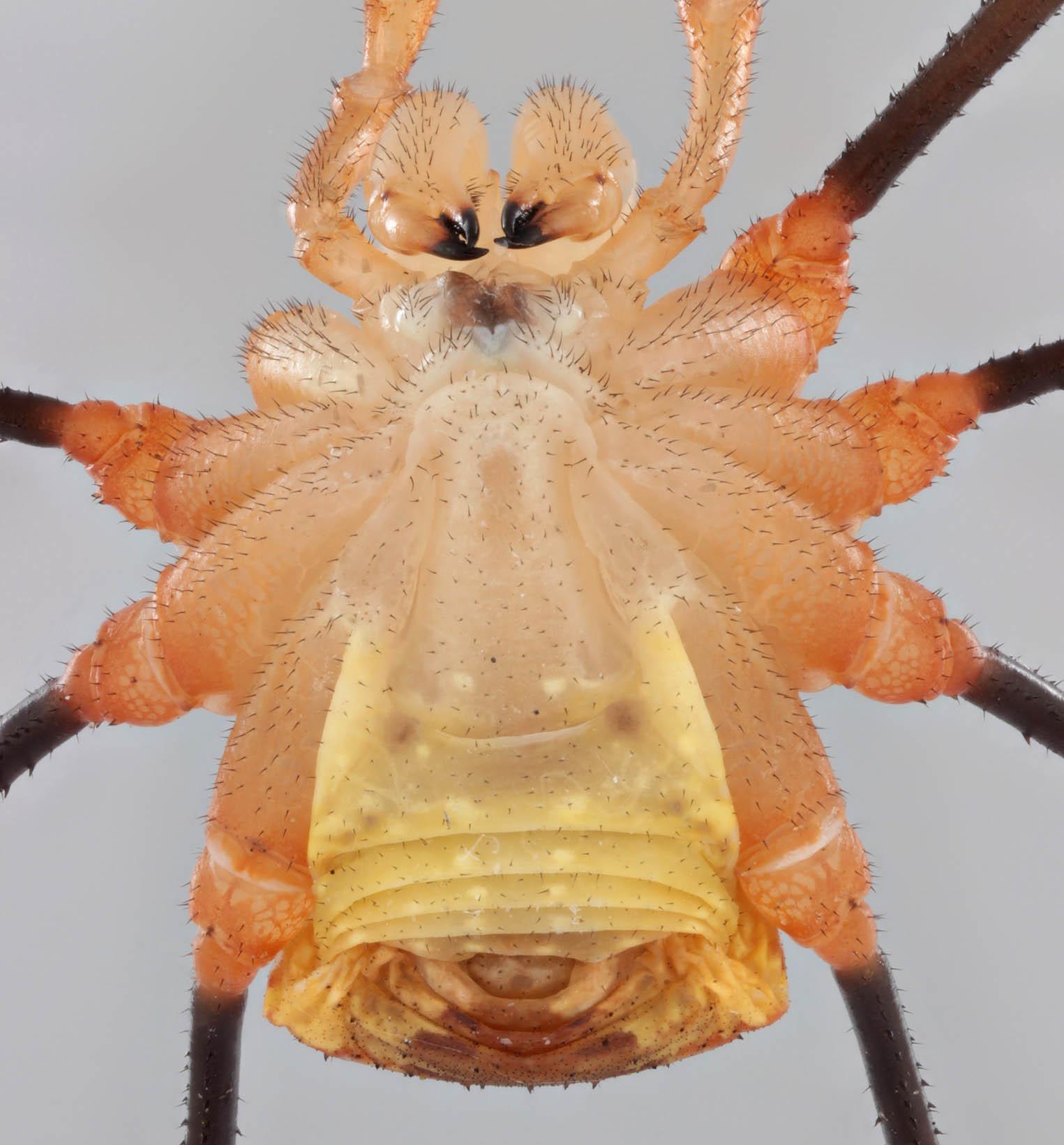 Image of <i>Opilio canestrinii</i>