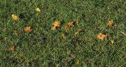 Image of <i>Clavulinopsis corniculata</i> (Schaeff.) Corner 1950