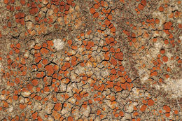 Image of <i>Caloplaca crenularia</i> (With.) J. R. Laundon