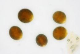 Image of <i>Chlamydomonas reinhardtii</i>