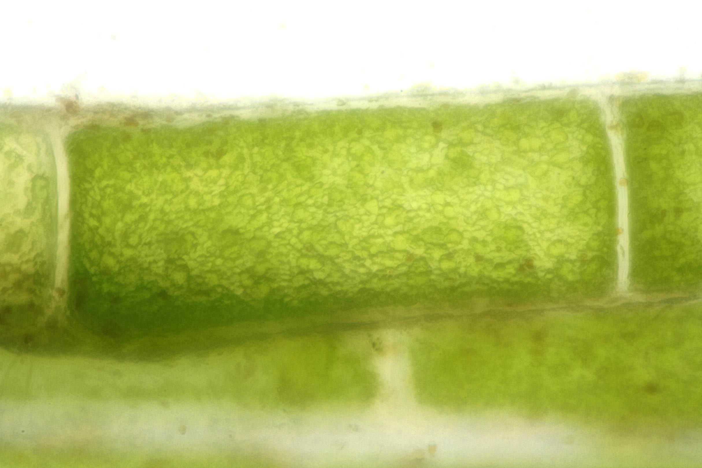 Image of Vaucheria