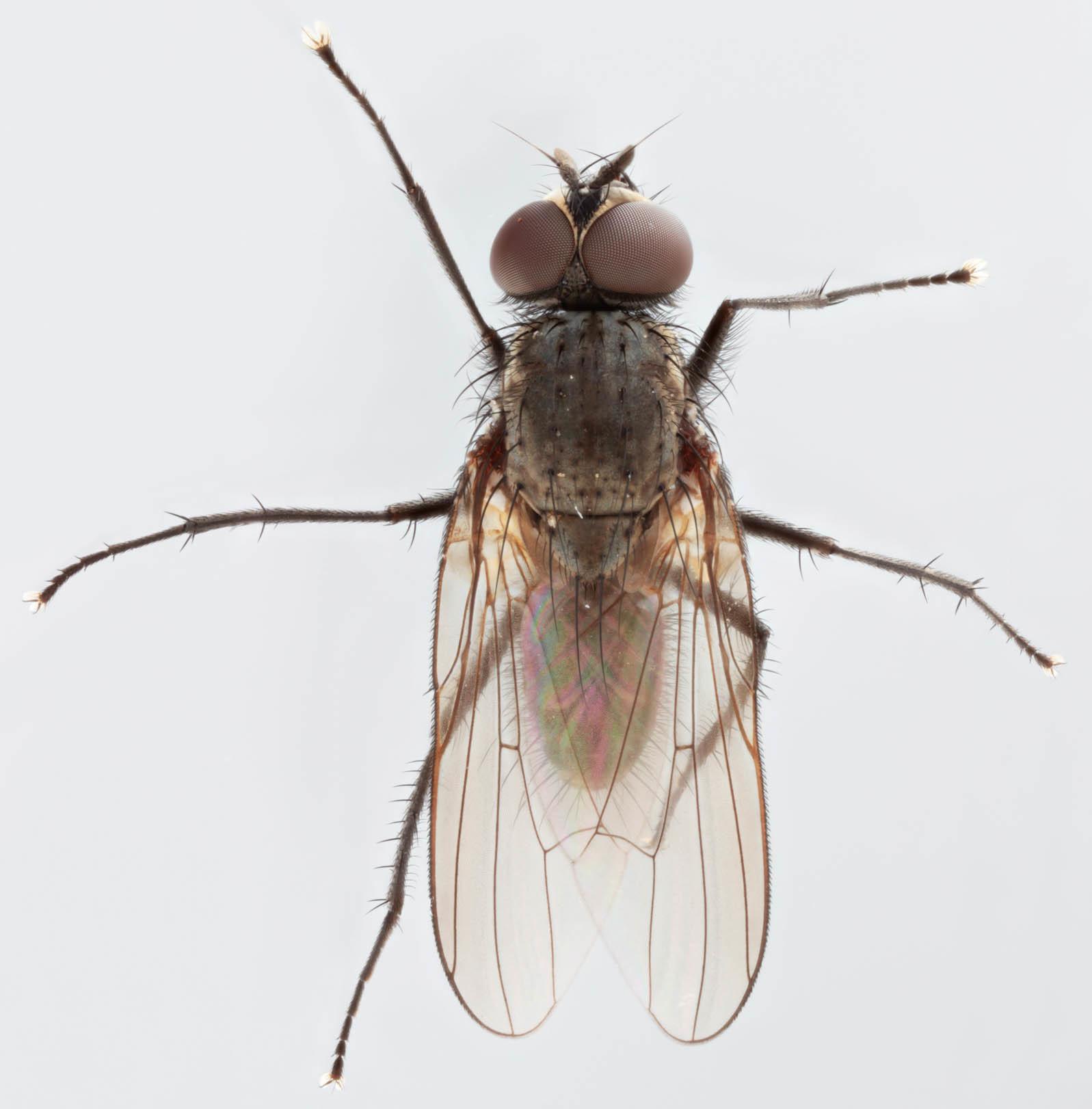 Image of Seedcorn maggot