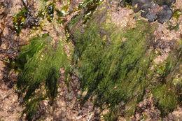 Image of <i>Acrosiphonia arcta</i>