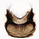 Image of <i>Egle ciliata</i> (Walker 1849)