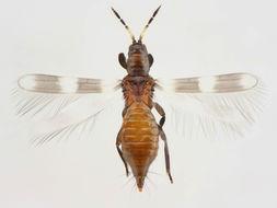 Image of <i>Aeolothrips tenuicornis</i> Bagnall 1926