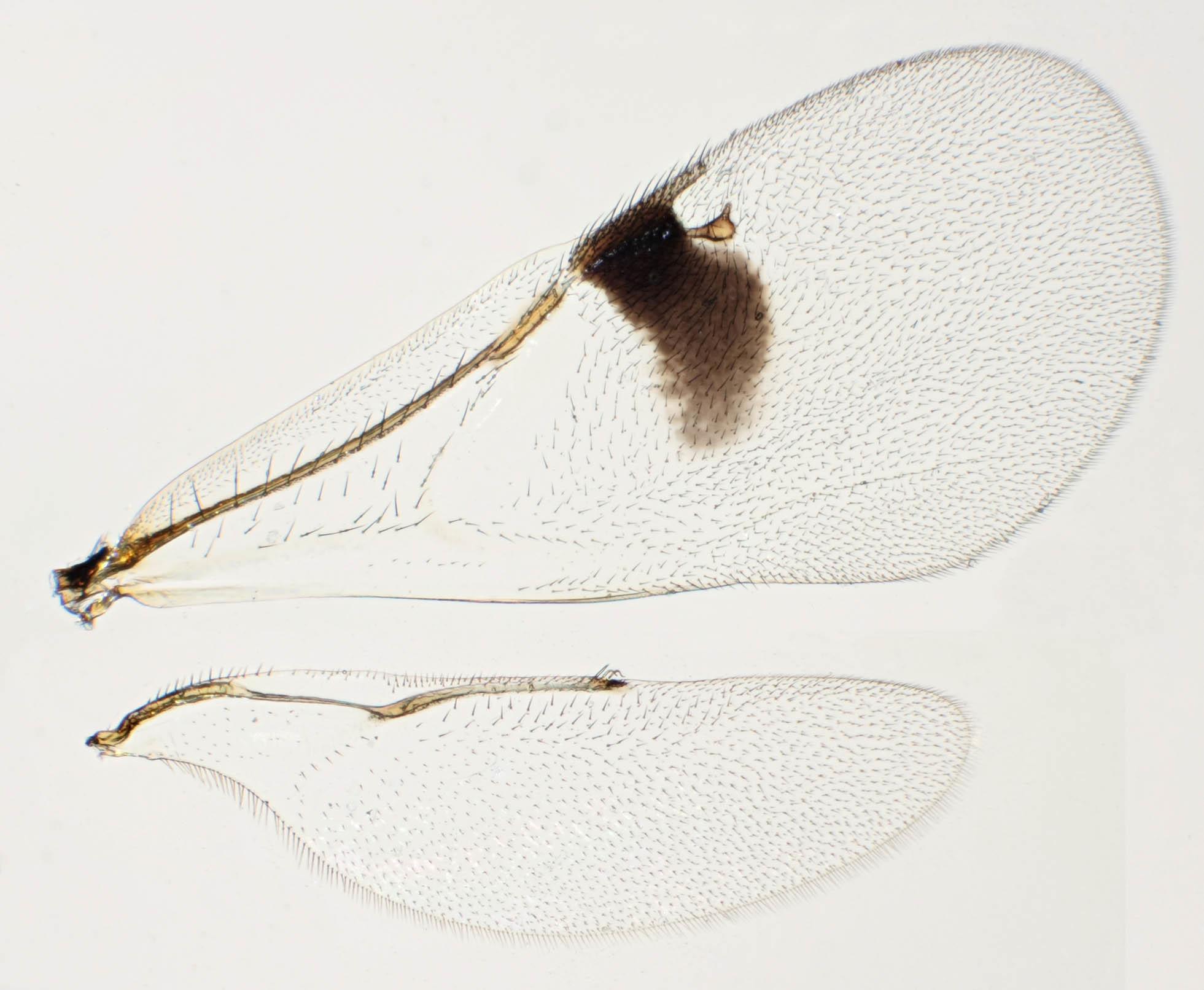 Image of <i>Sycophila biguttata</i> (Swederus 1795)