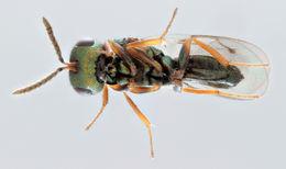 Image of <i>Caenacis inflexa</i> (Ratzeburg 1848)