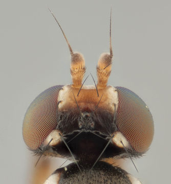 Image of <i>Clusiodes gentilis</i> Collin 1912