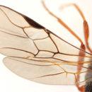 Image of <i>Polemochartus liparae</i> (Giraud 1863)