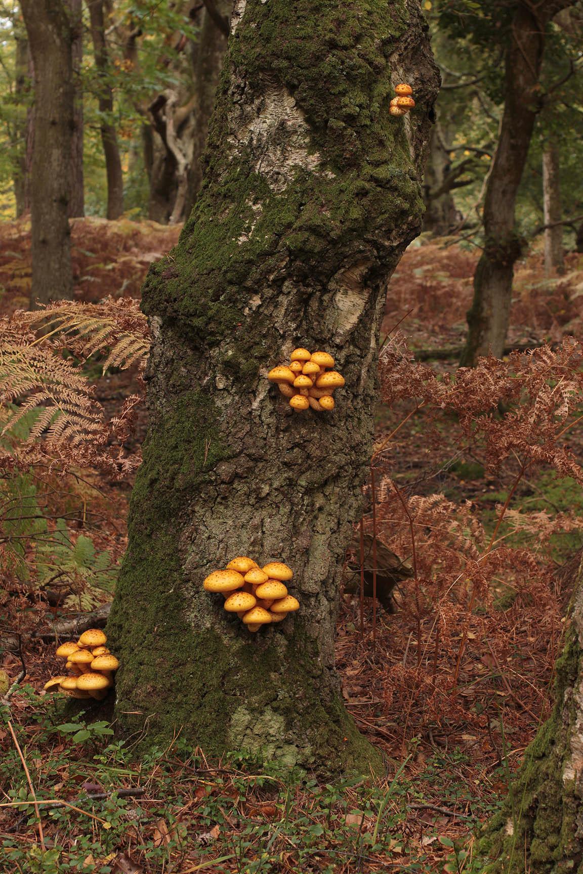 Image of Lemon-yellow Pholiota