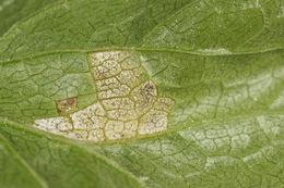 Image of <i>Plasmopara crustosa</i>