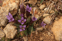 Image of Early gentian